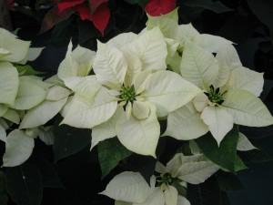 Stella Di Natale Bianca.Stella Di Natale Bianca 1 Vivai Rebecchi